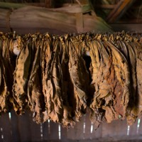Burley tobacco - Drying process